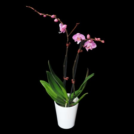 Pink Phaleonopsis Orchid