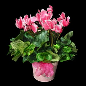 Stylish Cyclamen